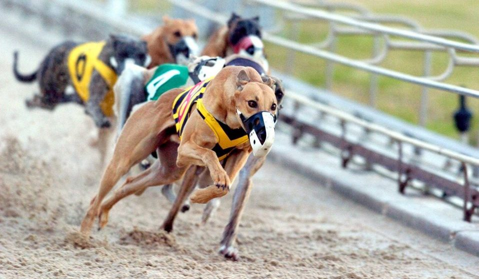 Greyhound Racing Betting: What Bettors Need to Know About Greyhounds and Races